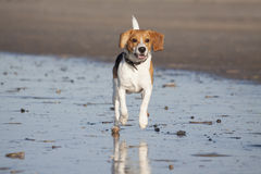 Young beagle in the water Stock Images