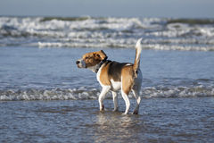 Young beagle in the water Royalty Free Stock Images