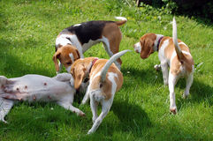 Young beagles play with mom Stock Photography