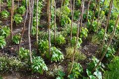 Young Bean Plants Stock Photos