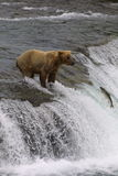 Young Bear on Brooks Falls. Young brown bear fishing on Brooks Falls - Katmai National Park stock photo