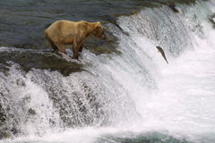 Young Bear and Brooks Falls. Young brown bear on Brooks Falls - Katmai National Park Stock Photos