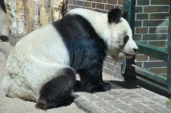Sad Panda at the zoo Royalty Free Stock Photos