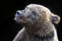 Young bear face Stock Photos