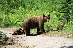 Young Bear. A young bear in Glacier National Park Royalty Free Stock Photos