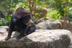 Young bear looking Stock Images