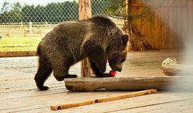 Young bear is playing with apple. Stock Photography