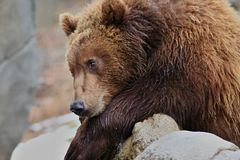 Young bear, ursidae. Baby bear is on the stone. Bear of family carnivora Stock Photography