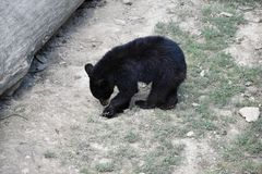 Young bear, Ursus americanus. Royalty Free Stock Image