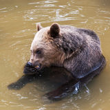 Young bear (Ursus arctos) Royalty Free Stock Photos
