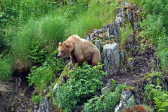 Young Bear watching a threat Royalty Free Stock Photography