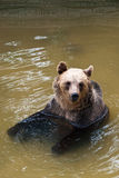 Young bear in the water (Ursus arctos) Royalty Free Stock Image