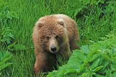 Young bear in the wilderness Stock Photography