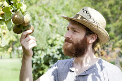 Young bearded boy farmer who gathers pears from trees with straw hat Royalty Free Stock Photos