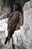 Young Bearded Vulture, Gypaetus barbatus born at the zoo will be released to the wild Stock Image