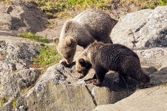 Young bears Royalty Free Stock Photo