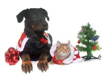 Cat, dog and christmas. Young beauceron, cat and christmas in  front of white background Royalty Free Stock Photography