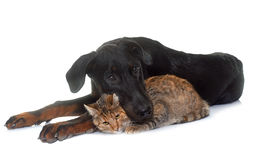 Young beauceron and cat  in studio Royalty Free Stock Images