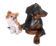 Young beauceron and chihuahua Stock Photo