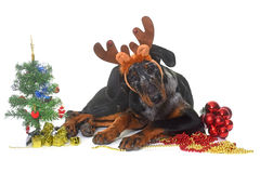Young beauceron and christmas Stock Images