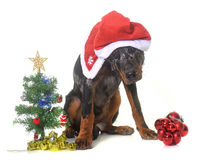 Young beauceron and christmas Stock Photography