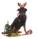 Young beauceron and christmas Stock Image