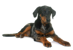 Young beauceron in studio Royalty Free Stock Image