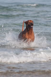 Running in sea dog. A young, beautiful active Rhodesian ridgeback dog running fast across the shallow water in the sea Stock Image