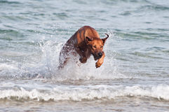 Running in sea dog. A young, beautiful active Rhodesian ridgeback dog running fast across the shallow water in the sea Stock Photography