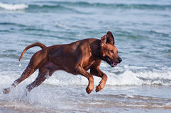 Running in sea dog. A young, beautiful active Rhodesian ridgeback dog running fast across the shallow water in the sea Stock Images