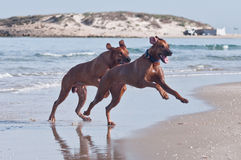 Two running on beach dogs. A young, beautiful active Rhodesian ridgeback dogs running fast across the shallow water on the beach Stock Photography