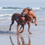 Two running on beach dogs. A young, beautiful active Rhodesian ridgeback dogs running fast across the shallow water on the beach Stock Images