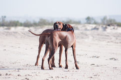 Two hugging on beach dogs. A young, beautiful active Rhodesian ridgeback dogs stay hugged on the beach Royalty Free Stock Photo