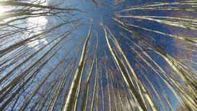 Young beautiful alder tree forest from beneath and spring  clouds, time lapse 4K stock footage