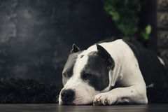 Young beautiful american staffordshire terrier dog lying at studio floor in summer sunny holiday in grass Stock Photography