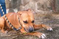Young, beautiful, american staffordshire terrier with owner spend a day in the park and playing. Young, beautiful, american staffordshire terrier with owner Royalty Free Stock Photography