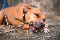 Young, beautiful, american staffordshire terrier with owner spend a day in the park and playing. Young, beautiful, american staffordshire terrier with owner Royalty Free Stock Image