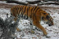Young beautiful amur tiger in  european zoo. In winter time stock images