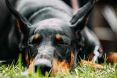 Young, Beautiful, Black And Tan Doberman Resting In Green Grass. Dobermann Is A Breed Known For Being Intelligent, Alert, And Loyal Companion Dogs royalty free stock photography