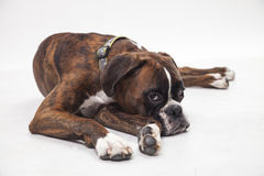 A young and beautiful boxer puppy. Royalty Free Stock Images