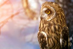 Young beautiful brown owl. Ð¡lose-up of a young beautiful brown owl or asio otus with yellow eyes against a winter forest background royalty free stock images