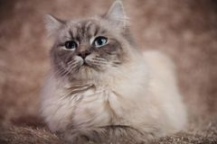 Young beautiful cat with blue eyes Royalty Free Stock Image