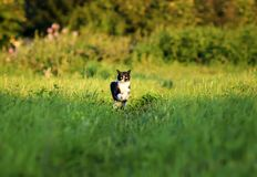 Young beautiful cat is cheerfully and quickly runs along a gre. A young beautiful cat is cheerfully and quickly runs along a green juicy meadow on a sunny, clear royalty free stock image