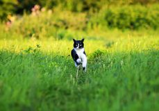 Young beautiful cat is fun and fast running on green meadow in s royalty free stock photography