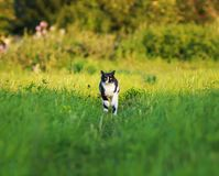 Young beautiful cat is fun and fast running on green meadow in s stock photography