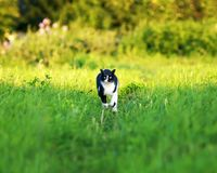 Young beautiful cat is fun and fast running on green meadow in s royalty free stock photos