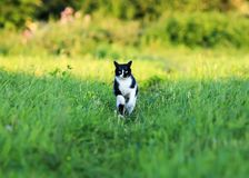 Young beautiful cat is fun and fast running on green meadow in s royalty free stock images