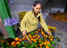 Young, beautiful Chinese woman working on the line sorting oranges. YANGSHUO, GUANGXI, CHINA - MARCH 31: Manual sorting of of oranges fruit takes place at the stock photos
