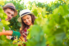 Young beautiful couple reaps a grapes crop Royalty Free Stock Images