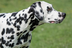A young beautiful Dalmatian dog Royalty Free Stock Photography